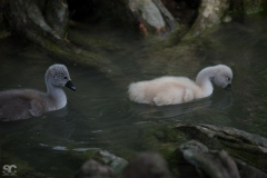 baby-swans_18240511388_o