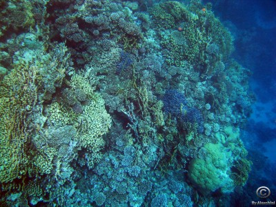 blue-coral-reef_3862502372_o
